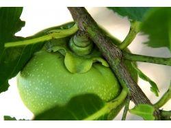 Экзотические фрукты фото индии 5