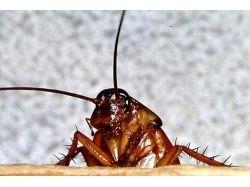 Насекомые фото тараканы 1
