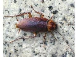 Насекомые фото тараканы 5