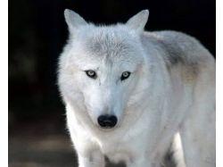 Картинки волков красивые 2