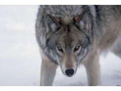 Картинки волков красивые 6