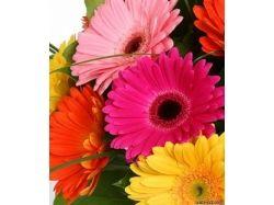 Фото цветов герберы 2