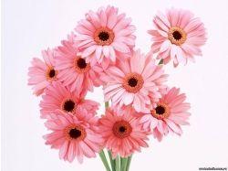 Фото цветов герберы 4