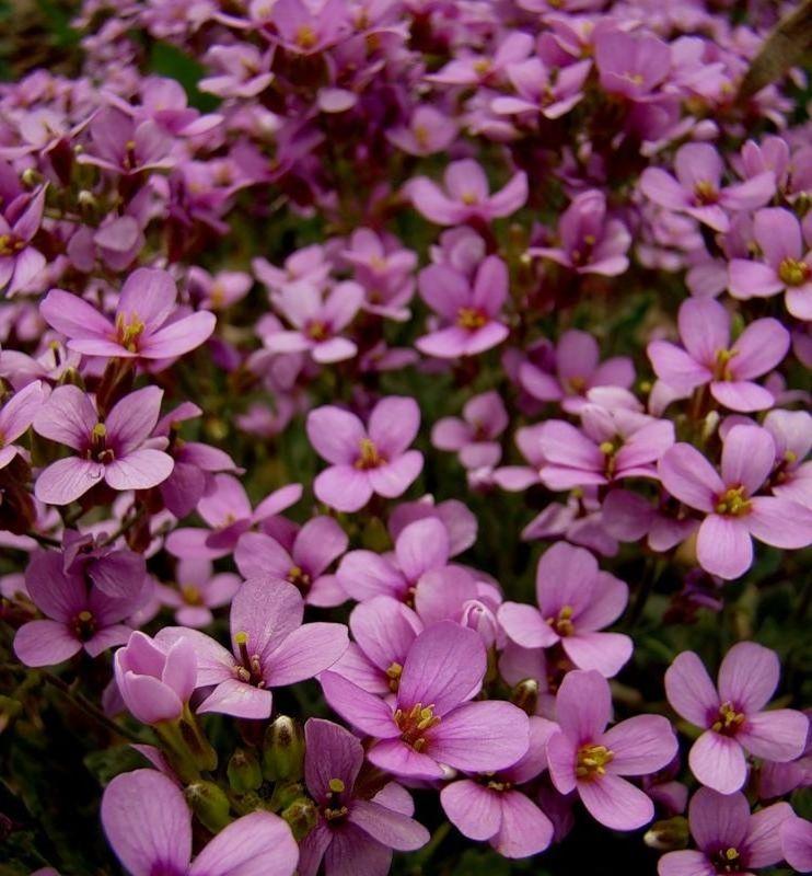 Васильки цветы сорта