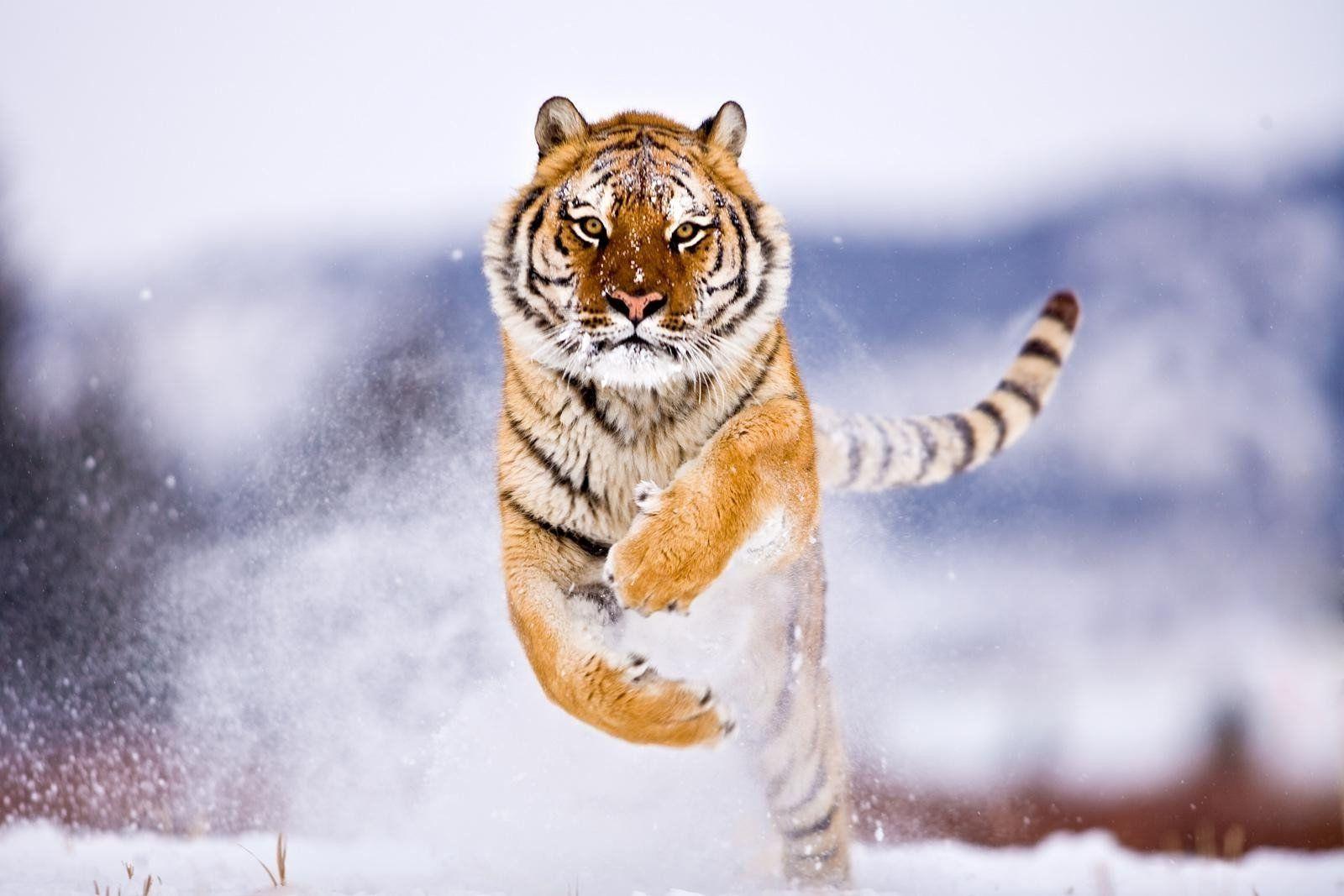 Обои для рабочего стола тигр газ