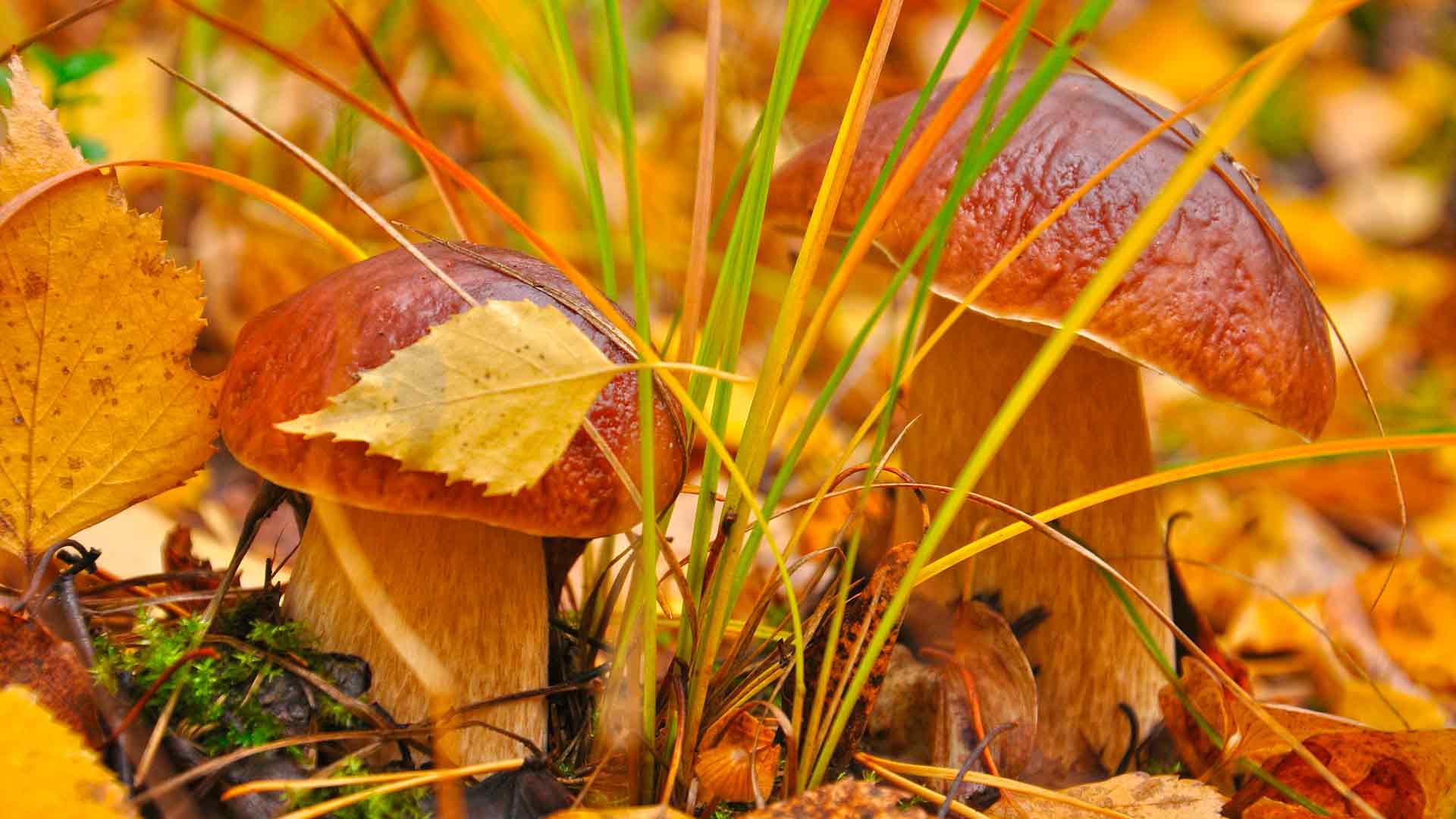 Обои на рабочий стол 1920х1080 грибы в осеннем лесу