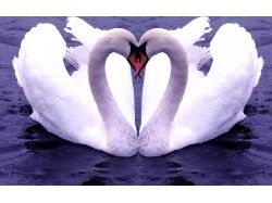 Лебеди любовь картинки 7