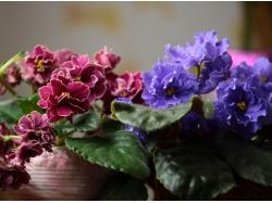Фото цветы комнатные фиалки 7