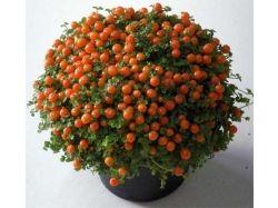 Пенстемон фото цветы 4