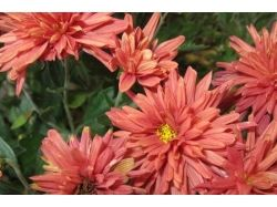Астры фото цветы 4