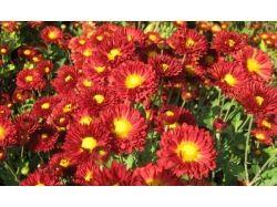 Астры фото цветы 5