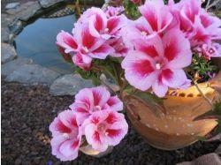 Годеция фото цветы 2