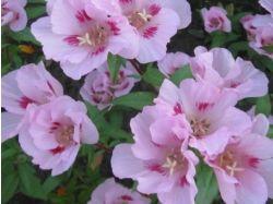 Годеция фото цветы 5