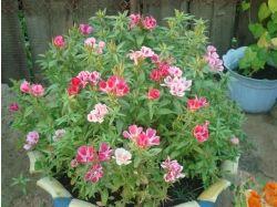 Годеция фото цветы 6