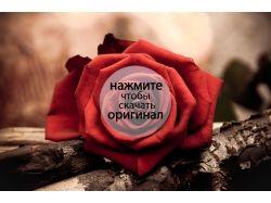 Роза в картинках для статуса