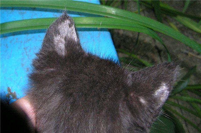 Лишай или не лишай у кошки в домашних условиях