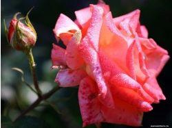 Скачать картинки цветы розы