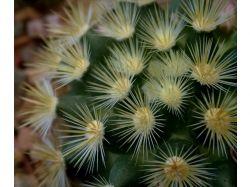 Цветы кактусы фото