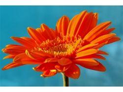 Оранжевые цветы фото