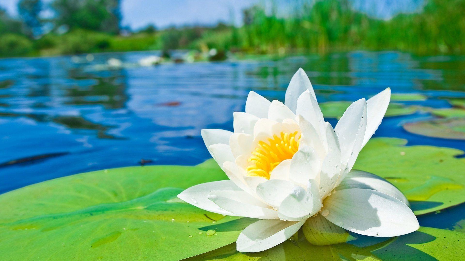 природа цветы водяная лилия кувшинка без регистрации