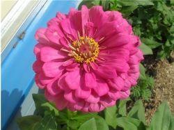 Цветок садовый фото