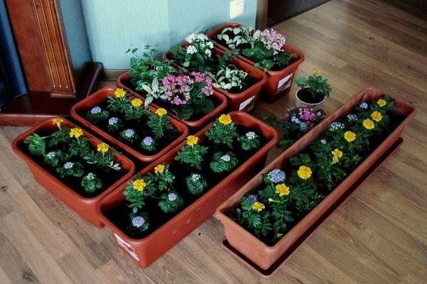 Фото цветов агератум.
