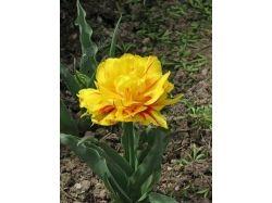 Фото цветов тюльпанов