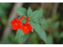 Красный комнатный цветок фото