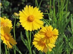 Название желтого цветка и фото