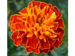 Картинки цветка крокуса