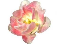 Картинки цветов для фотошопа