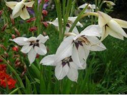 Комнатные цветы луковичные фото название