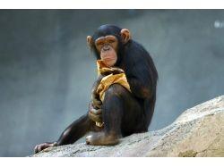 Фото шимпанзе
