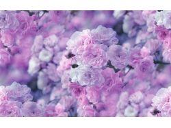 Картинки чайная роза