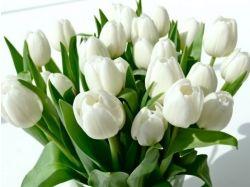 Фото белых тюльпанов