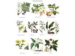 Лекарственные травы сибири фото