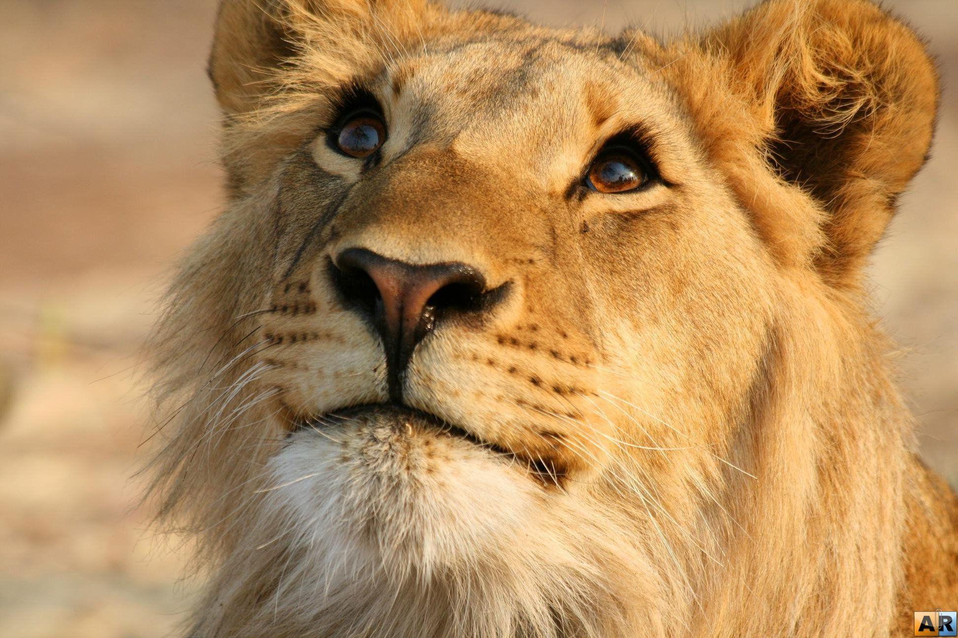 Открытки троицец, смешные картинки львы на аватарку