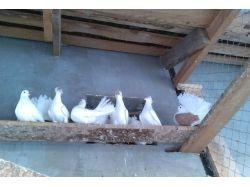 Фото голубей разных пород