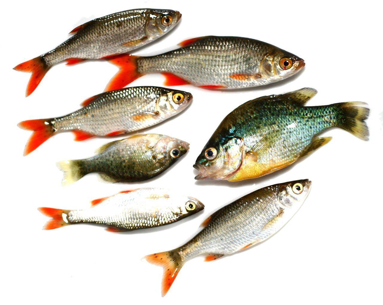 Картинки только пресноводных рыб