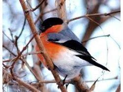 Птица снегирь фото
