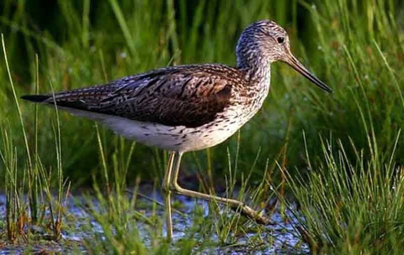 болотная птица кулик картинка если