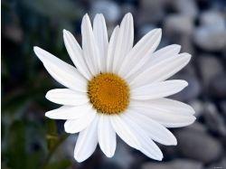 Картинки цветы ромашка