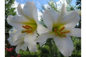 Цветы фото лилии