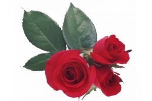 Картинка роза для детей