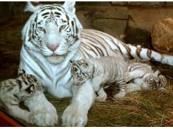 Где живут тигры фото