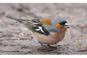 Птица зяблик фото