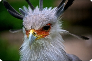 Фото птица секретарь