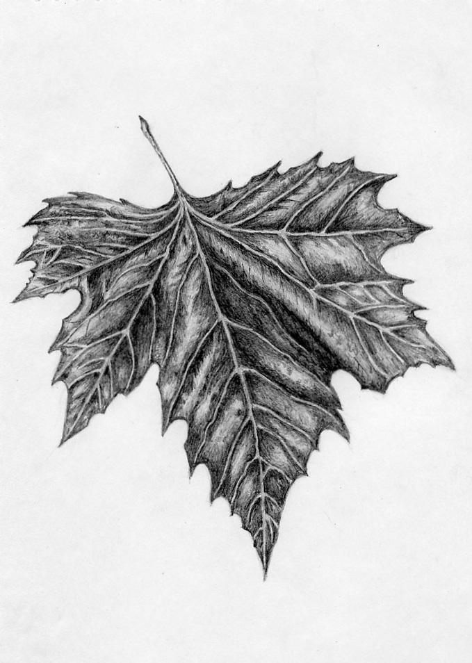 часть кленовые листья рисунки карандашом необходимы слова