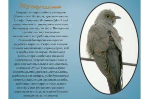 Птица кукушка фото