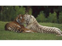 Широкоформатные обои тигры